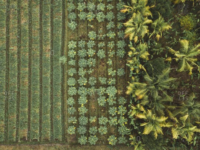 Indonesia- Bali- Aerial view of papaya plantation