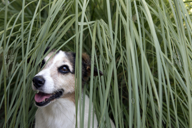 Portrait of peeking mongrel