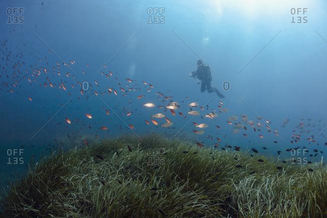 France- Corsica- Scuba diver photographing schools of dreamfish (Sarpa salpa) and damselfish (Chromis chromis)