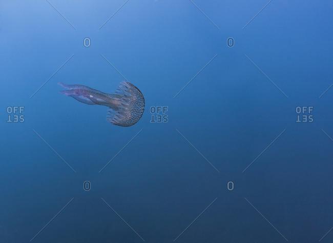 France- Corsica- Underwater view of mauve stinger (Pelagia noctiluca) swimming in blue waters of Mediterranean Sea