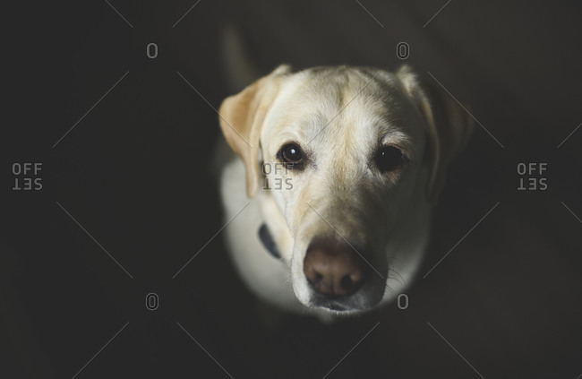 Overhead portrait of Labrador Retriever sitting at home