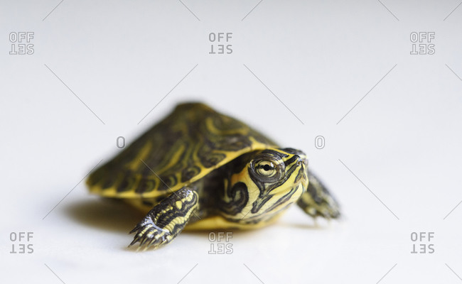 Close-up of yellow-bellied slider over white background