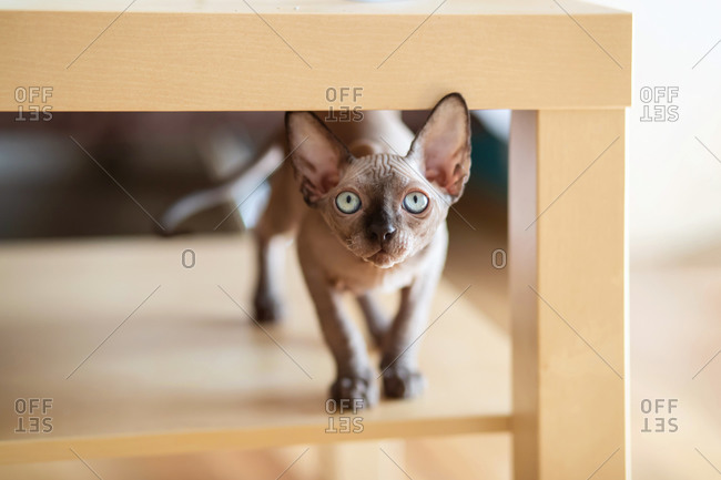 Three month old sphynx kitten standing under the table