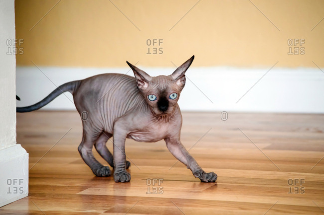 Sphynx kitten ran out of the corner and does not know what to do