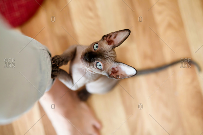 Sphynx kitten is standing on its hind legs and holding onto a woman۪s