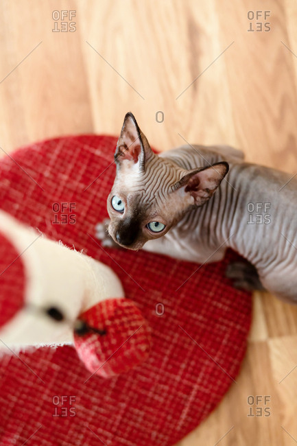 Sphynx kitten looks up at the red plush ball