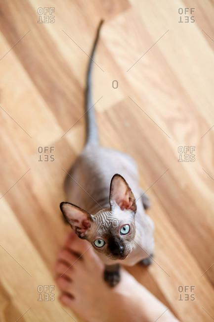 Three-month-old sphynx kitten has put the paw on the female foot.