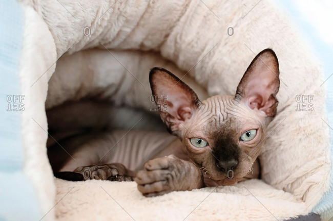 Sphynx kitten lies in the warm plush cat bed.