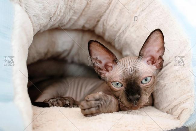 Sphynx kitten lies in the warm plush cat bed.
