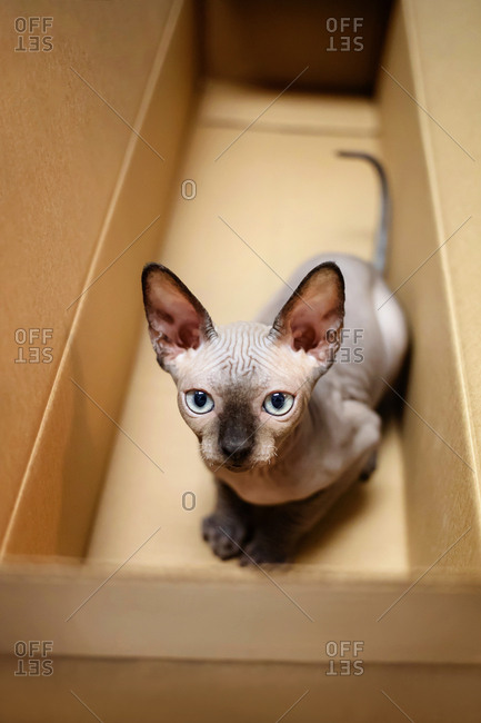 Baby  sphynx kitten hides in the shipping box