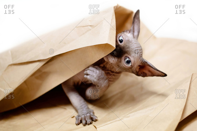Sphynx kitten plays with beige wrapping paper