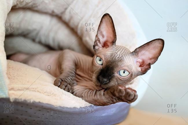 Three months old Sphynx kitten lies in the warm plush bed.