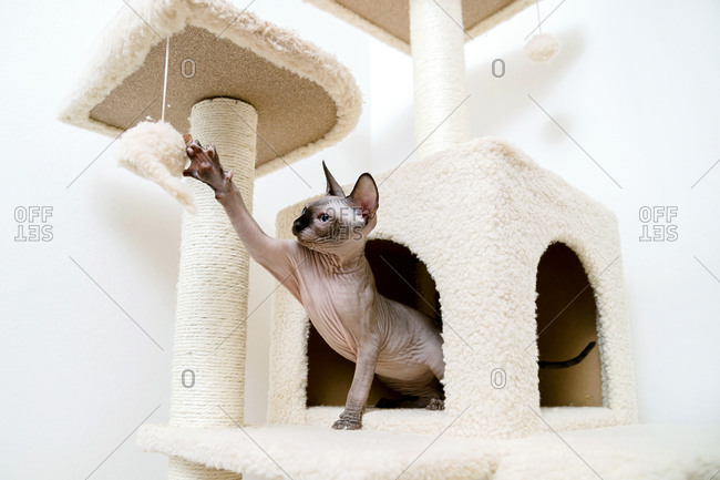 Sphynx kitten playing with the toy mouse in the cat's house.