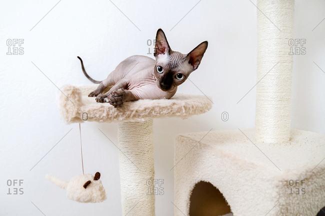 Sphynx kitten lies in the cat's house.