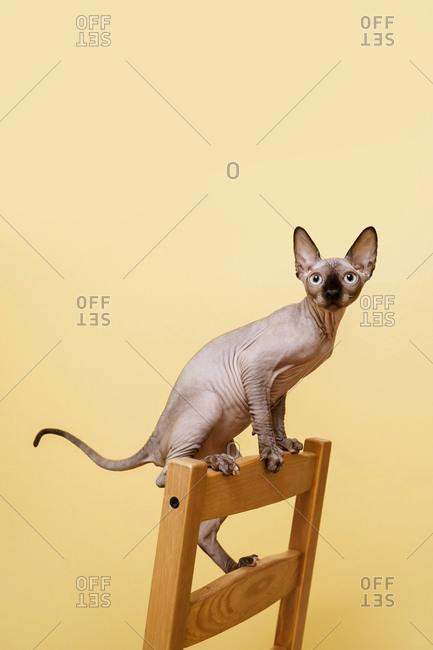 Sphynx kitten standing on the back of the chair against yellow wall