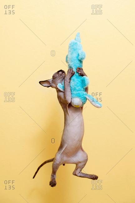 Sphynx kitten jumps and hugs turquoise soft toy rabbit