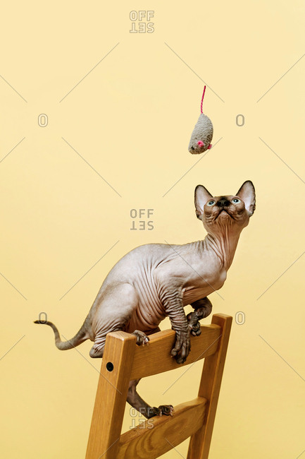 Sphynx kitten looks up in the grey soft mouse toy