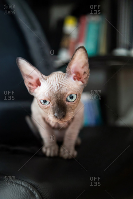 Sphynx kitten blinked his eye and sits on a chair