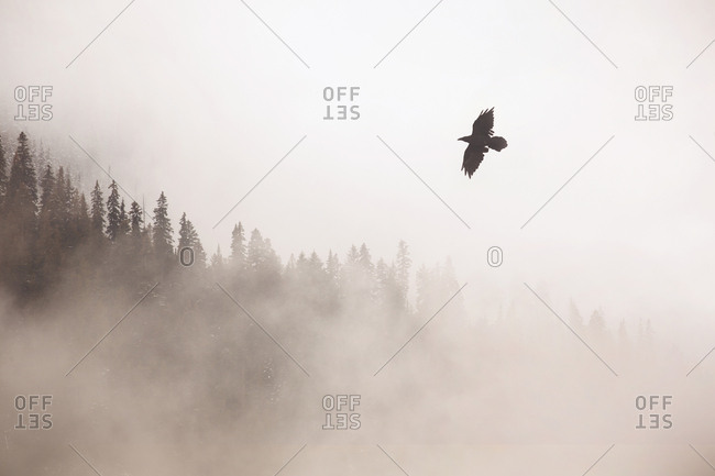 Raven flying over a forest on a foggy day, Banff National Park, Alberta, Canada