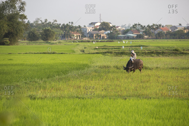 Vietnam, Quang Nam Province, Hoi An - March 4, 2018: Boy looks at his phone sitting on a water buffalo in rice paddy.