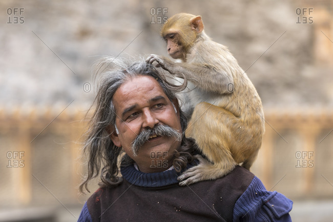 India, Rajasthan, Jaipur - January 29, 2019: A macaque monkey sits on a man's shoulders and grooms his hair.