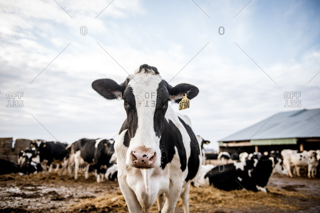 Cow on farm - Offset Collection