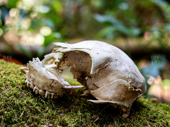 Animal skull on moss covered tree trunk in the forest