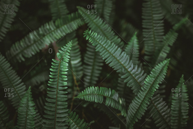 Wild emerald green fern fronds growing at varying angles