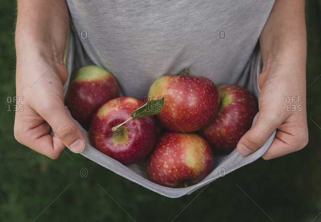 Close up of hands holding edge of shirt that is filled with apples.