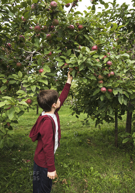Young boy reaching up to pick a ripe apple off of an apple tree.