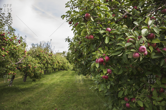 Ripe red apples on an apple tree in an apple orchard.