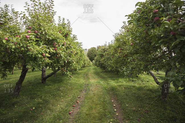 Looking down the middle of two rows of apple trees in an orchard.