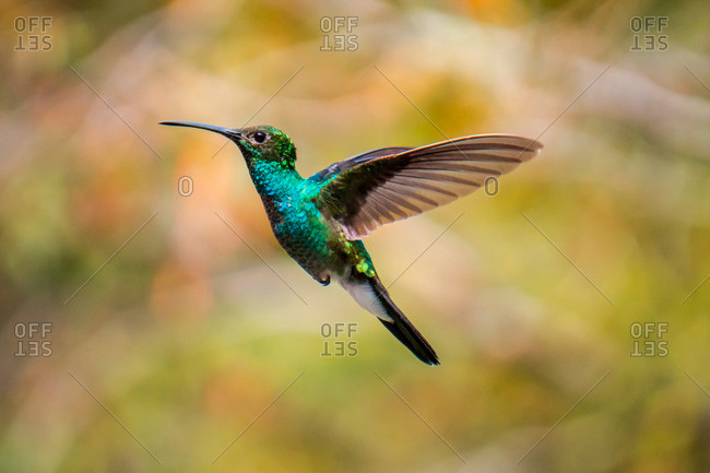 Hummingbird flying in the forest