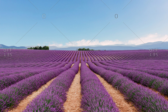 Lavender fields in the summer