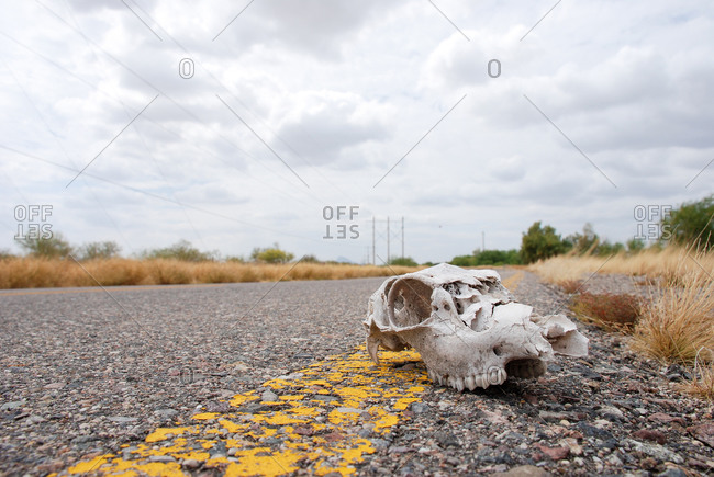 Cow head skeleton over the route and the dry environment