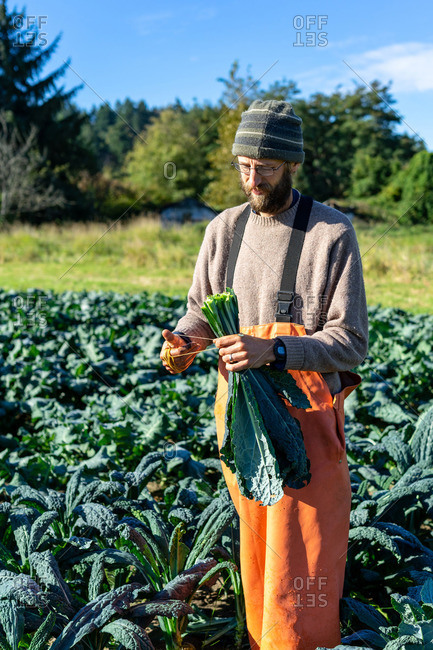 Farmer collecting Italian kale at the organic farm in Washington
