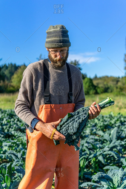 Farmer is collecting organic Italian kale for the market