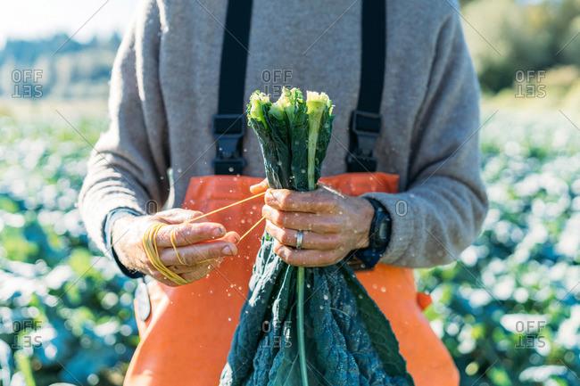 Farmer tying a bunch of organic Italian kale during fall day harvest