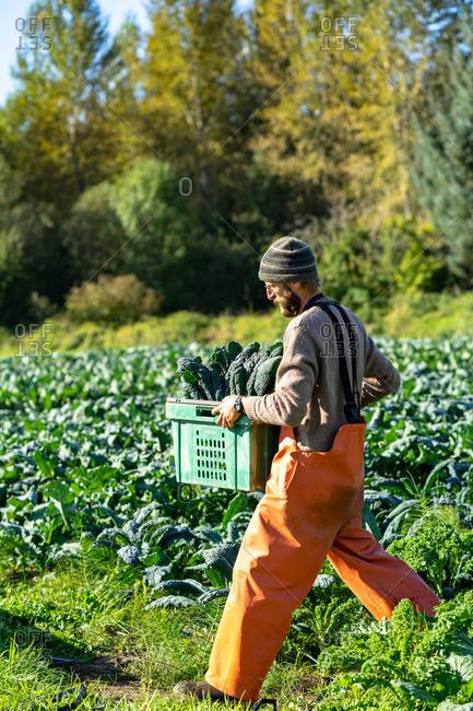Farmer is carrying a crate of Italian organic kale
