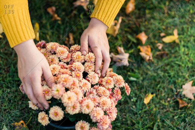 Hands hold beautiful mums - Offset