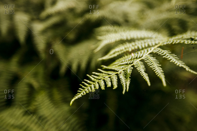 A closeup of a fern, Cascade mountains, Washington