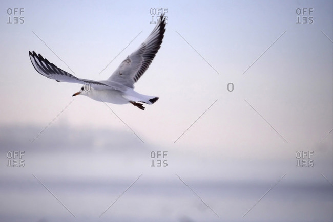 Seagull in flight - Offset Collection