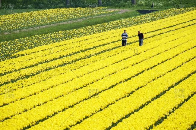 Netherlands, North Holland, Ursem - April 30, 2014: Men working in yellow tulip fields near village of Ursem, Netherlands
