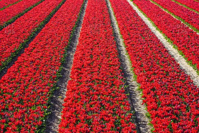 Bright red tulip field in spring, Noord-Holland, Netherlands