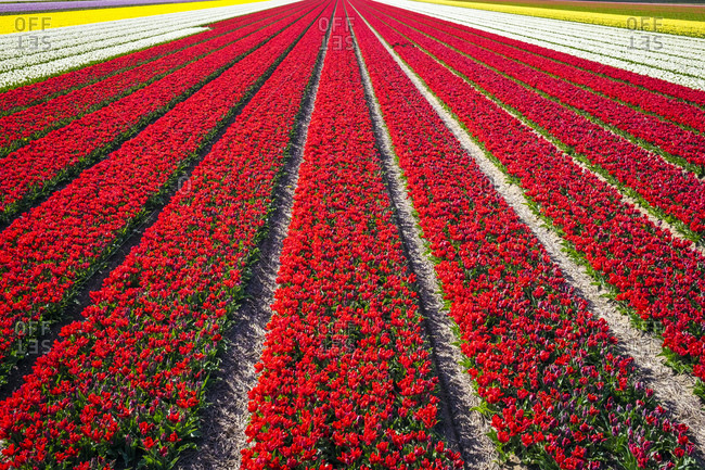 Bright red tulip field in spring, Holland