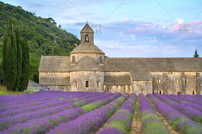 Lavender fields in full bloom in early July in front of Abbaye de S�nanque Abbey at sunrise