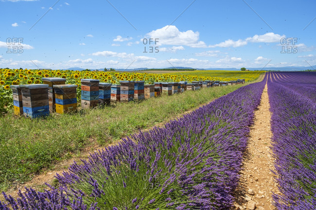 Bees swarming around beehives in lavender field on the Plateau de Valensole