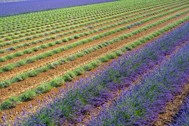Lavender field after workers began harvesting the first rows of lavender in early July
