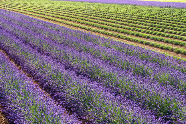 Lavender fields in Provence are in height of bloom in early July as the harvest begins on the Plateau de Vaucluse
