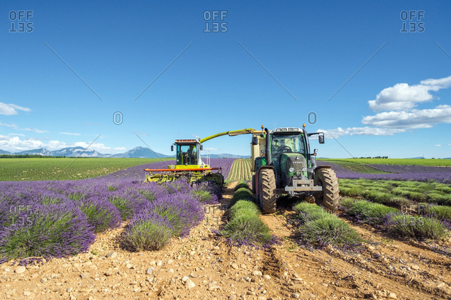 France, Provence-Alpes-Cote d'Azur, Puimoisson - July 8, 2014: Workers begin harvesting first rows of lavender in a field in early July on the Plateau de Valensole near Puimoisson